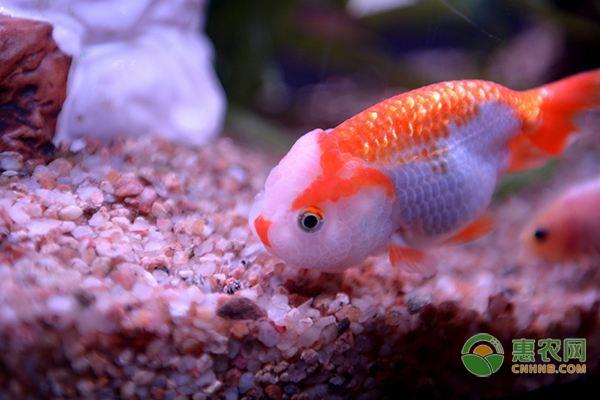鱼缸冷水鱼水温是多少合适?鱼缸适合养什么冷水鱼?