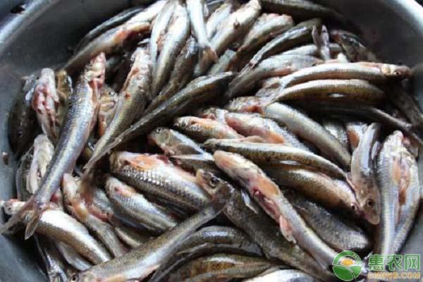 川丁子鱼多少钱一斤?川丁子鱼有哪些营养价值?