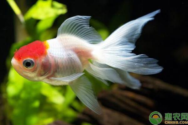 小型冷水鱼什么品种最好养?这6种饲养成活率高!