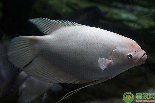 招财鱼是什么鱼?多少钱一斤?