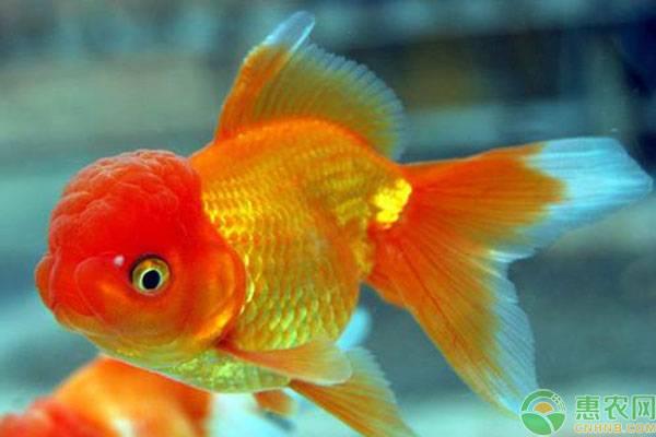 小型观赏冷水鱼有哪些品种?这十种小型观赏冷水鱼好养又好看!
