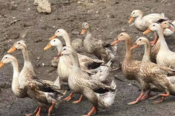 今日全国鸭价涨跌表(附鸭价行情走势)