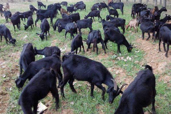 2020黑山羊市场价格多少钱一斤?黑山羊养殖前景及优势分析