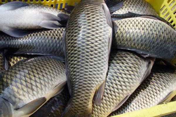 鲤鱼批发价格多少钱一斤?为什么现在鲤鱼不受欢迎了?