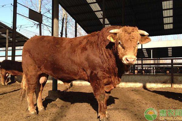 秦川牛和利木赞牛的区别