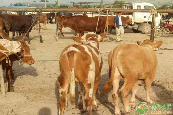 鲁西黄牛牛犊价格多少钱一只?买多大的牛犊开始养比较好?