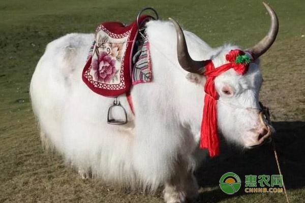 雪山白牛价格及品种特征