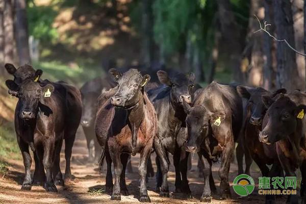 安格斯牛是什么牛?为啥没人养?