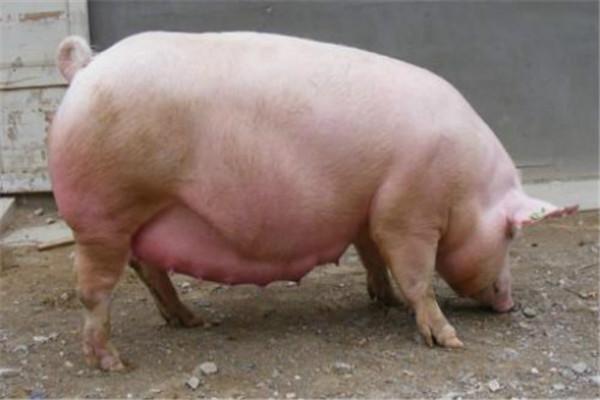 2020年猪价行情如何?会下降还是增涨?