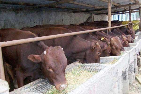 养一百头牛需要多大场地?有哪些建设标准?