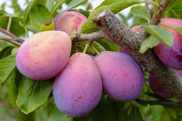 种植前景好的西梅品种介绍