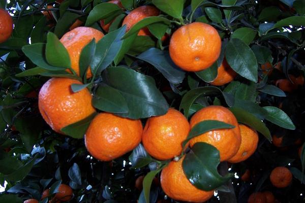 沙糖桔与蜜桔有什么区别?沙糖桔功效与作用