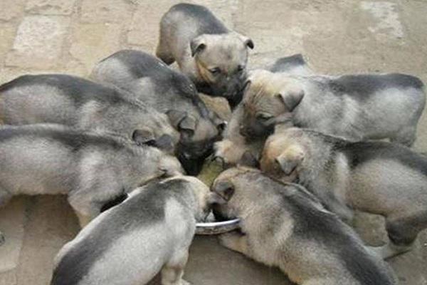 养一百只土狗利润是多少?土狗的养殖利润分析