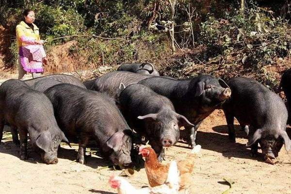 槐猪养殖前景好吗?现在多少钱一斤?(附养殖事项)