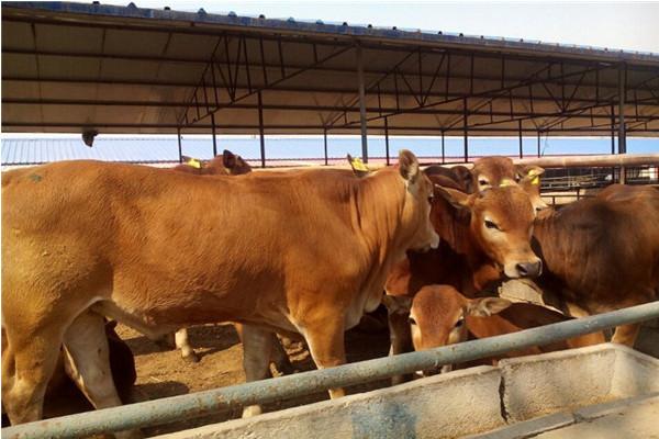 养一头牛需要多少成本?2020年养殖什么肉牛品种好?