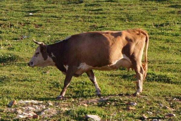 最近活牛价格如何?附春节前后活牛行情走势分析