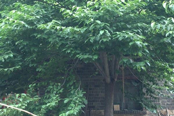 杜仲的市场价格多少钱一棵?杜仲的种植前景如何?
