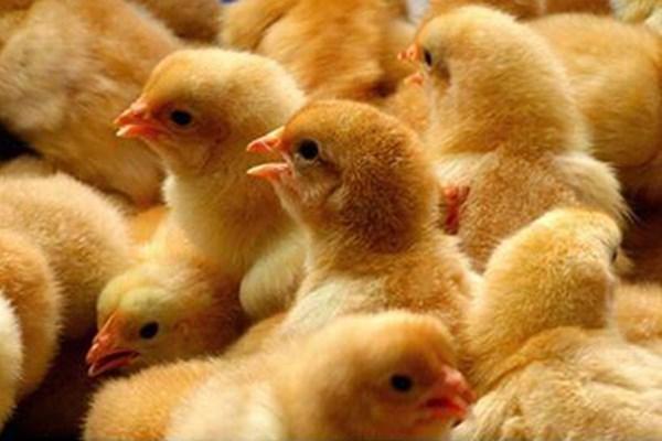 小鸡不知如何区分公母?学会这几个方法一眼识别!