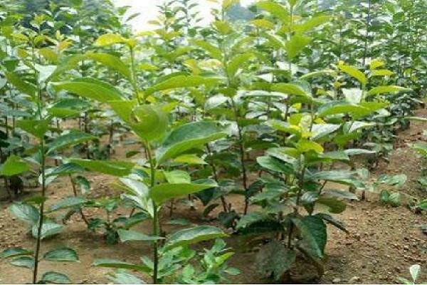 甜柿树苗有哪些品种?这四种极具市场潜力!