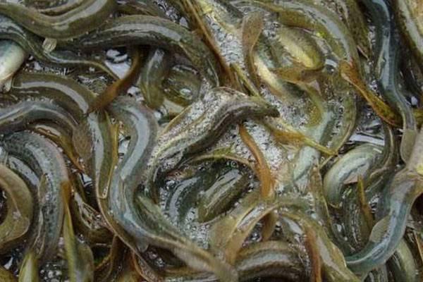 2020年泥鳅价格多少钱一斤?养殖前景如何?