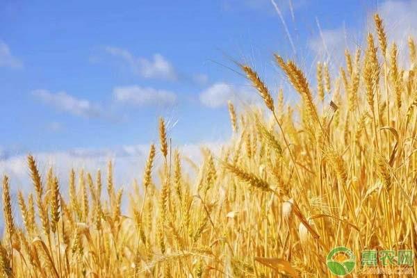 亚搏体彩平台_今日小麦价格多少钱一斤?附最新小麦价格行