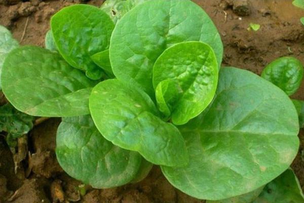木耳菜种子怎么挑选?育苗方法有哪些?