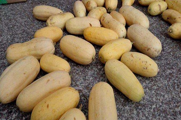 杏瓜种子哪里有卖?育苗方法有哪些?