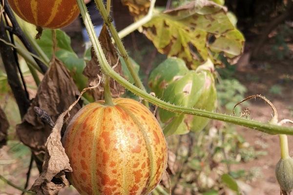 香水瓜种子怎么选种?育苗方法有哪些?