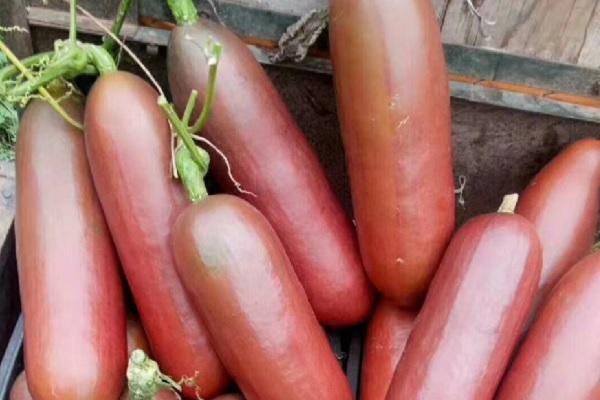 红香蜜种子哪里有卖?育苗方法有哪些?
