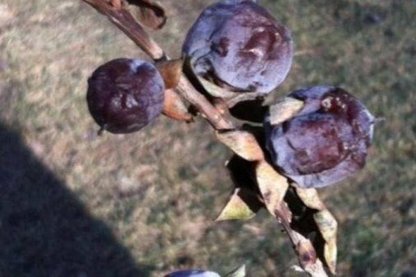 黑枣种子分哪几类品种?育苗方法有哪些?