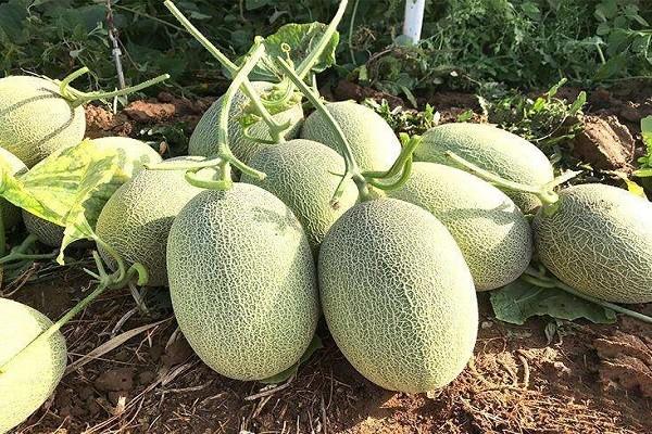 哈密瓜如何选种?育苗方法有哪些?