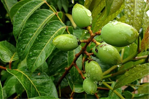 橄榄都有哪些品种?怎么育苗?