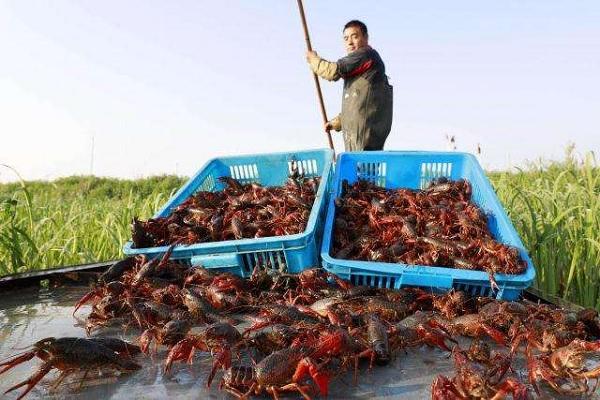 湖北潜江小龙虾复市是什么情况?复市的小龙虾能吃吗?