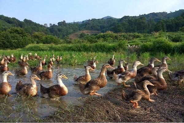 浙江10万鸭子将出征巴基斯坦灭蝗!为什么要用鸭子出征?