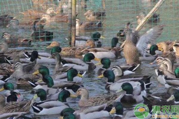 浙江10万鸭子出征巴基斯坦灭蝗的是什么品种?为