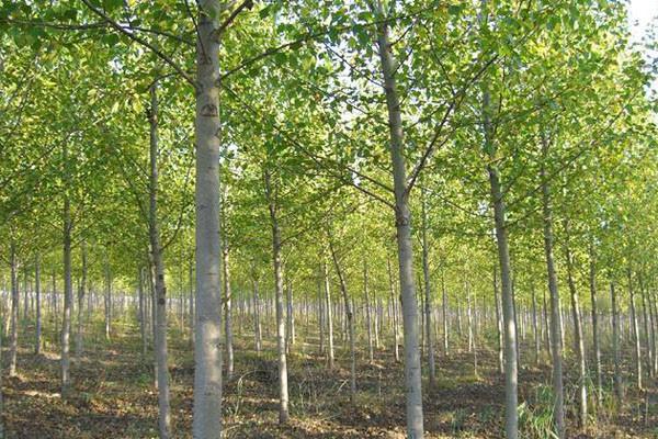 杨树的特点和作用