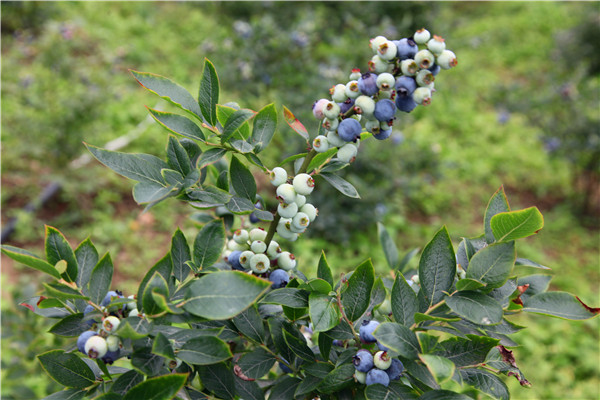蓝莓苗什么品种最好?育苗方法有哪些?