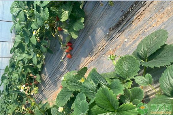 草莓苗有哪些分级标准?不同的栽培方式该如何选择品种?