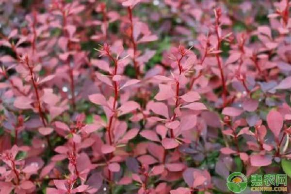 紫叶小檗种子怎么选种?育苗方法有哪些?