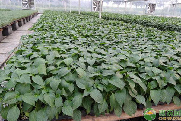 蔬菜种苗哪里有卖?多少钱一棵?