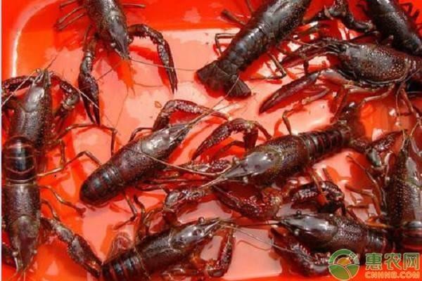 湖北小龙虾日销650吨,湖北解封后虾价会继续飙升吗?