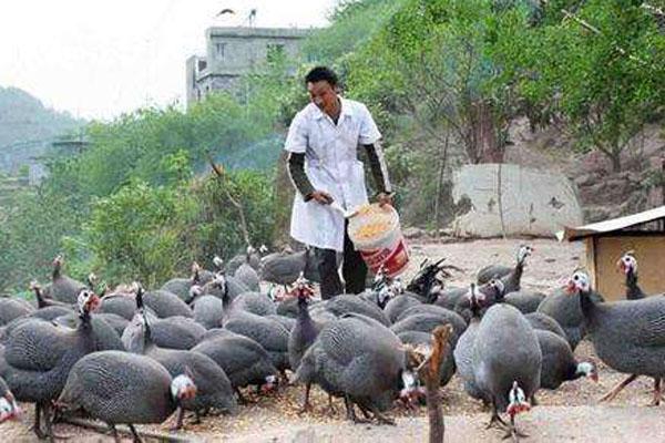 农村养什么品种的鸡好?这6种好卖又赚钱!
