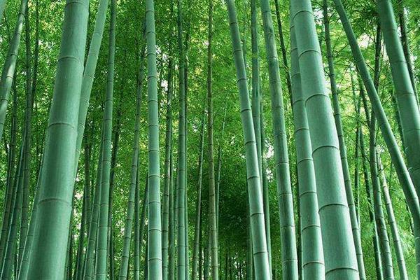 竹子常见的品种有哪些?