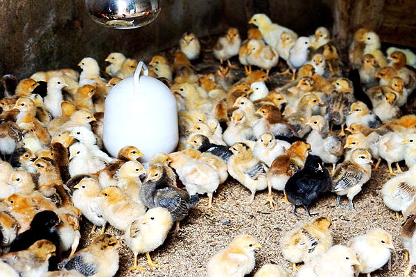 鸡苗价格多少钱一只?附鸡苗最新行情走势分析