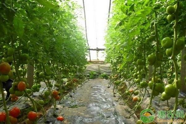 现在西红柿价格多少钱一斤?附四月西红柿行情走势介绍