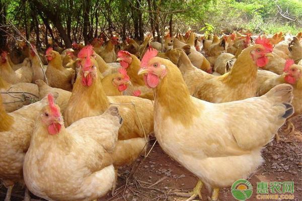疫情后生态鸡需求量加大,养殖生态鸡有这几个优势!