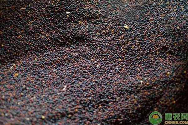 今日菜籽多少钱一斤?附最新行情走势分析