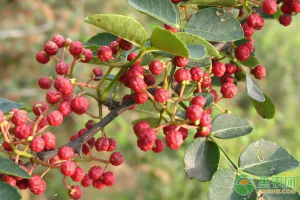 花椒树的种植方法盆栽图片