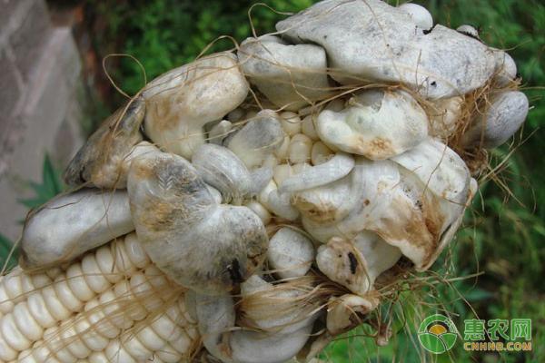 玉米上都有哪些病虫害?