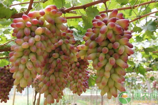 如何解决葡萄软粒?